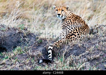 Gepard, Acinonyx Jubatus, auf der Suche nach Beute, Masai Mara National Reserve, Kenia, Afrika - Stockfoto