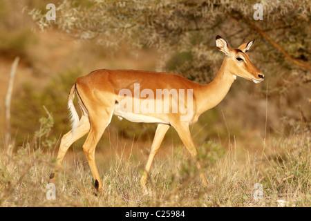 Eine weibliche Impala in Samburu National Reserve, Kenia - Stockfoto