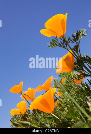 Ein Feld von California Poppies - Point Buchon State Marine Reserve und Marine Conservation Area - Kalifornien Vereinigte - Stockfoto