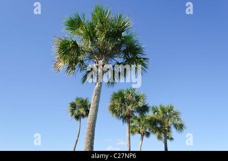 Palme, isoliert gegen einen blauen Himmel Vero Beach Florida - Stockfoto