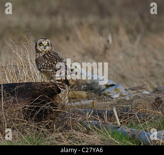 Short-Eared Eule, Asio flammeus - Stockfoto