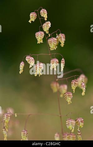 Beben-Grass (Briza Media), Blumen. - Stockfoto