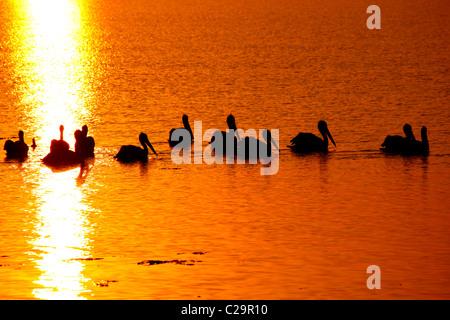 Pelikane bei Sonnenaufgang - Stockfoto