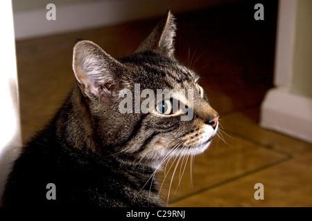 Erwachsene Tabby Katze - Stockfoto