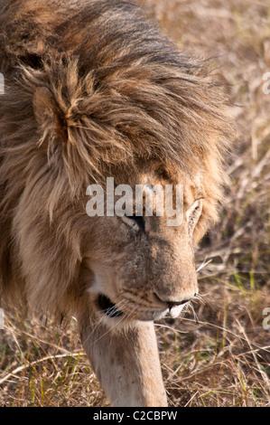Männlicher Löwe, Panthera Leo, Masai Mara National Reserve, Kenia, Afrika - Stockfoto