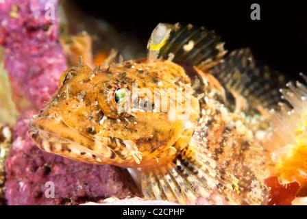 Nahaufnahme eines kleinen Seeskorpion Fisches ruht bewegungslos auf einem Riff in Kalifornien. - Stockfoto