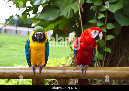Zwei schöne Ara Papageien sitzen auf Holzstab - Stockfoto