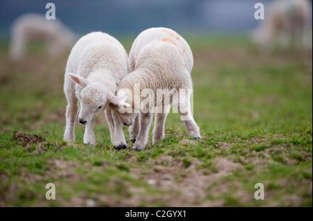 Neu geboren weißen Lämmer spielen auf einer Wiese in der ländlichen Gegend von Devon, UK - Stockfoto