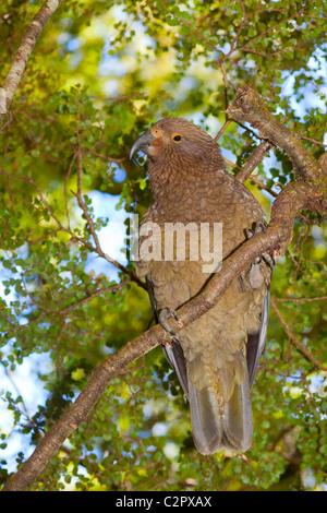 Kea Berg Papagei in Neuseeland - Stockfoto