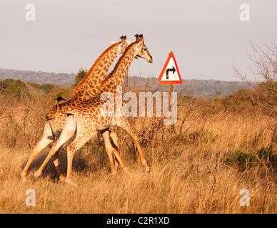 Zwei Giraffen mit rechts drehen Pfeil - Stockfoto