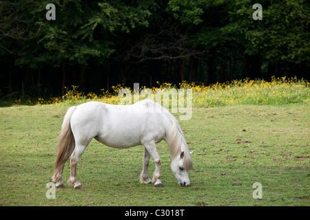 Welsh pony Beweidung in Snowdonia, Gwynedd, Wales - Stockfoto