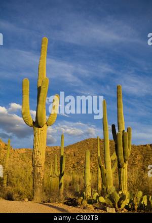 Saguaro-Kaktus-Feld - Saguaro National Park, Arizona USA - Stockfoto