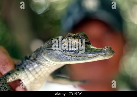 Mann hält ein Baby weiß Kaiman (Caiman Crocodilus) auf Nanay Fluss, Iquitos, Loreto, Peru, Südamerika - Stockfoto