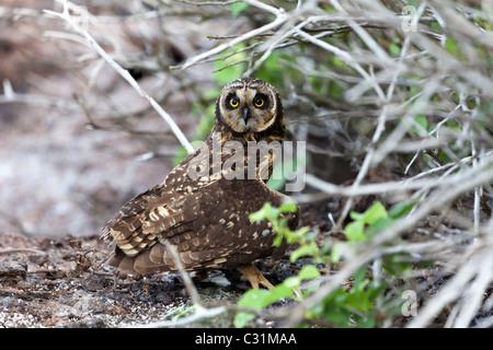 Sumpfohreule Sturmvogel Beute versteckt, Genovesa Turm Insel, Galapagos-Inseln, Ecuador, Südamerika - Stockfoto