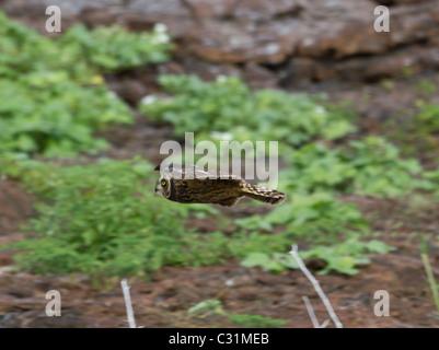 Sumpfohreule fliegen, Genovesa Turm Insel, Galapagos-Inseln, Ecuador, Südamerika - Stockfoto