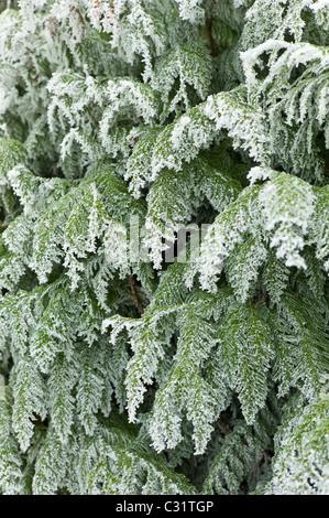 Winter-Szene Raureif über Tanne in Cotswolds, UK - Stockfoto