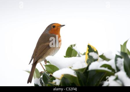 Typische Szene Robin hockt auf Hecke Holly und Ivy durch die verschneiten Hügel in die Cotswolds, UK - Stockfoto