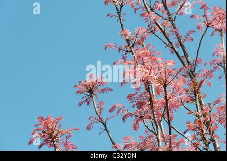 Toona sinensis 'Flamingo'. Chinesische Mahagoni 'Flamingo' Baum mit rosa Blättern im Frühjahr. Großbritannien - Stockfoto