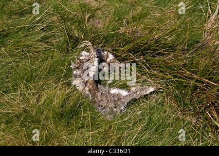 Die nackten Überreste eines Kaninchen oder Hasen auf Ilkley Moor - Stockfoto