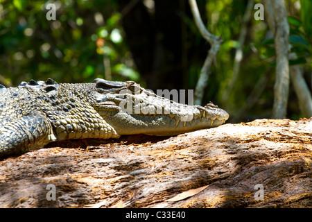 Eine australische Salzwasser-Krokodil ruht auf einem Baumstamm in der Sonne. - Stockfoto