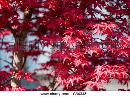 roter japanischer ahorn baum acer palmatum 39 atropurpureum 39 blowing in the wind in einem garten. Black Bedroom Furniture Sets. Home Design Ideas