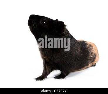 Meerschweinchen steht auf den Hinterbeinen (Rampen). Isoliert auf weißem Hintergrund. - Stockfoto