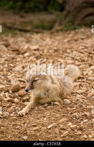 Fox - Stockfoto