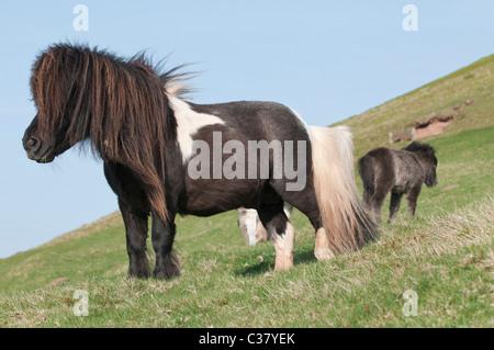 Welsh Ponys stehen auf der Bergseite des schwarzen Berges in der Nähe von Hay-on-Wye, Wales - Stockfoto