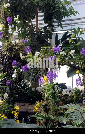 orchideen in rhs garten gew chshaus bei wisley surrey vanda tricolor subspecies suavis. Black Bedroom Furniture Sets. Home Design Ideas