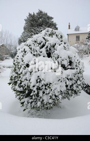 Lorbeerbaum unter Schnee im Winter, Devon - Stockfoto