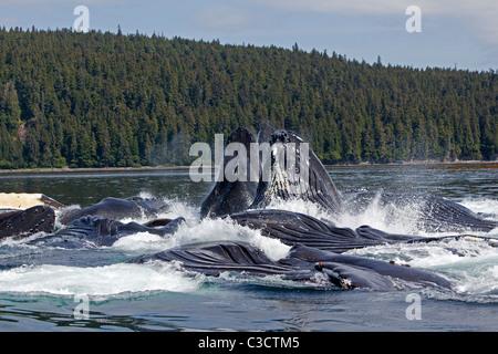 Buckelwal (Impressionen Novaeangliae). Longe-Fütterung für Krill-Gruppe (nach Bubble-Netting) - Stockfoto