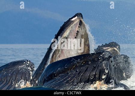 Buckelwal (Impressionen Novaeangliae). Longe-Fütterung für Krill-Gruppe (nach Bubble-Netting). - Stockfoto