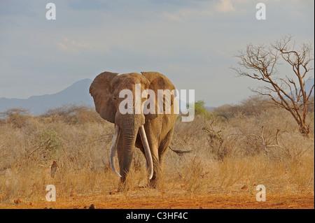 Männliche Bull afrikanische Elefanten im Tsavo (Ost)-Nationalpark, Kenia - Stockfoto