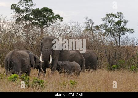 Eine Herde von afrikanischen Elefanten im Busch von Masai Mara in Kenia - Stockfoto