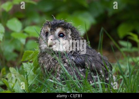 Habichtskauz [Strix Uralensis], Bayerischer Wald, Süddeutschland - Stockfoto