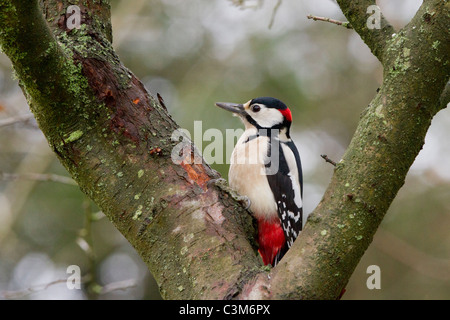 Männlicher Buntspecht (Dendrocopos großen) Profil. Sat in der Gabel eines Baumes Weißdorn. Winter, Derbyshire, UK - Stockfoto