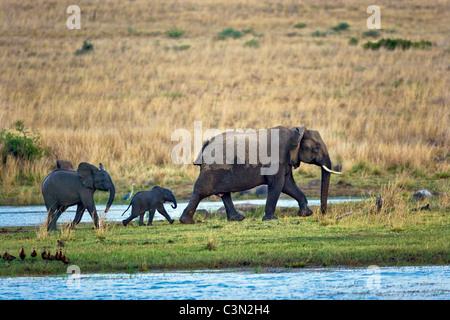 In der Nähe von Rustenburg, Südafrika Pilanesberg National Park. Afrikanische Elefanten. (Loxodonta Africana). - Stockfoto