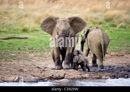 In der Nähe von Rustenburg, Südafrika Pilanesberg National Park. Afrikanische Elefanten, Loxodonta Africana. Mütter - Stockfoto