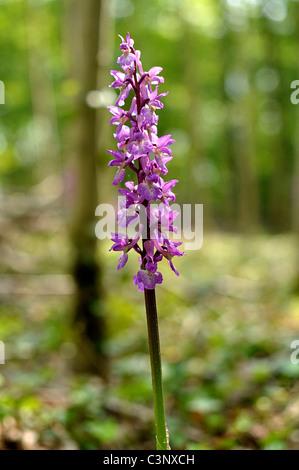 Orchis Mascula, frühen lila Orchidee, männliche Orchis, eurasische Orchidee mit auffälligen rosa oder lila Blüten - Stockfoto