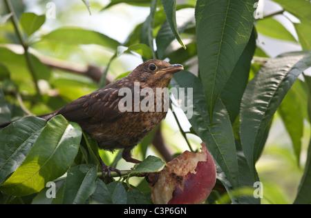 Juvenile Blackbird Loquat Obst zu essen, in einem Baum - Stockfoto
