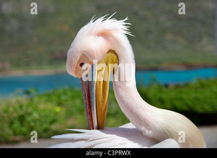 Rosapelikan (Pelecanus Onocrotalus). Pelikan ist uraltes Symbol der mütterlichen Liebe. - Stockfoto