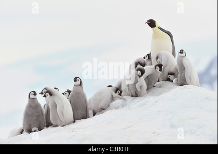 Antarktis, Blick auf Kaiser-Pinguin in Gruppe - Stockfoto