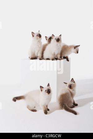Ragdoll Kätzchen sitzen auf Block vor weißem Hintergrund - Stockfoto