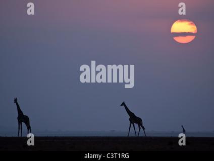 Ein Trio von Giraffe und die untergehende Sonne auf den getrockneten Seegrund in Amboseli Np, Kenia. - Stockfoto