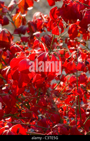 gefl gelter spindel baum euonymus euonymus alatus sch nheit in natur china indigenen farbe. Black Bedroom Furniture Sets. Home Design Ideas