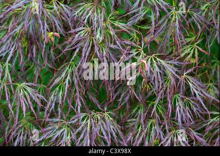 Acer Palmatum var. Dissectum. Glatte japanischer Ahorn Baumblätter und Samenkapseln - Stockfoto