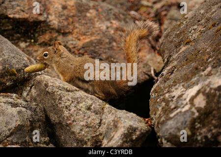 Eichhörnchen, Tamiasciurus Hudsonicus Sciuridae Familie Ernte Nadelbaum Kegel, Jasper Nationalpark, Alberta, Kanada - Stockfoto