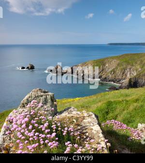 Meer Sparsamkeit (Armeria Maritima) wächst auf Felsen über Carrick Luz Landzunge, Lizard Halbinsel Cornwall. Frühjahr - Stockfoto