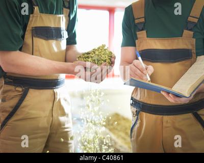 Arbeitnehmer, die Auswahl von Hopfen in Brauerei - Stockfoto
