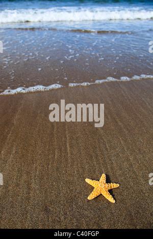 Detail, Küste, Makro, Bulle, Bullen, Muster, Nahaufnahme, Natur, Norden, Sand, Sandstrand, Schottland, Seestern, Seestern Kalifornien,